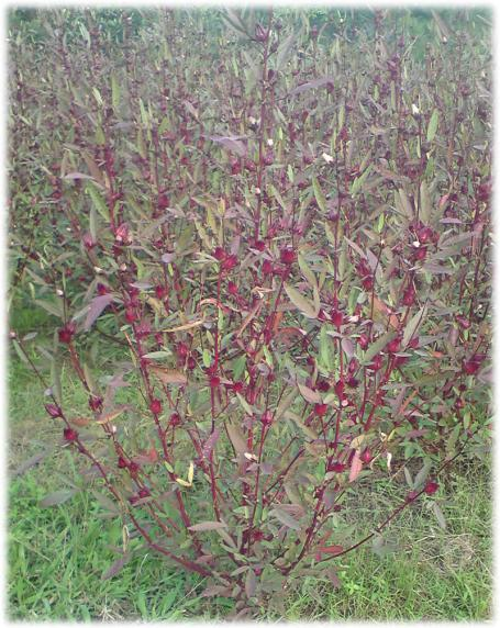 Hibisco - flores usadas para chá medicinal